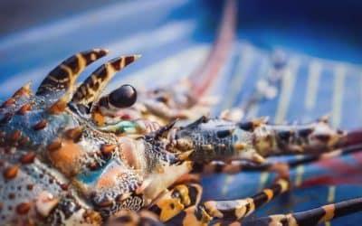 Le Homard, la crème des crustacés